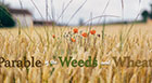 Parable of the Weeds and Wheat - 7.12.20